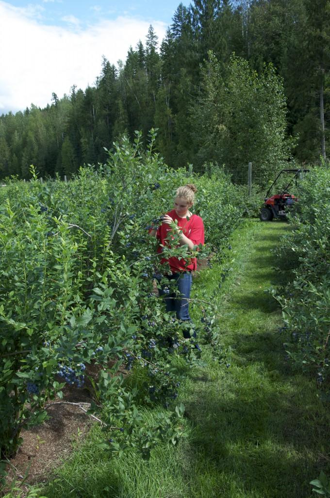 Picking Blueberries at Mabel Lake Farms